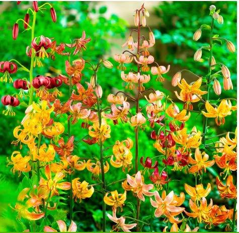 Tomasa Samenhaus- Selten Türkenbundlilien-Mischung Blumensamen exotische Lilie Blumen Saatgut Pötschkes Bunte Lilien winterhart mehrjährig für Terrase/Balkon/Garten