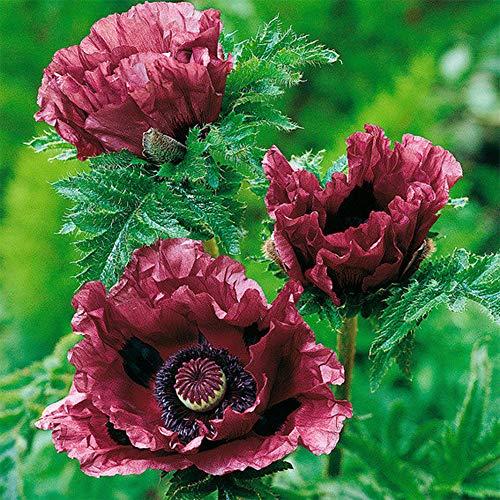 Hoher Violette Blüten
