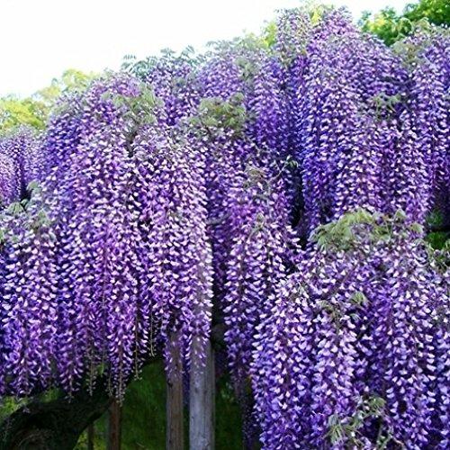 Vivai le georgiche wisteria floribunda violacea plena – black dragon (glicine)