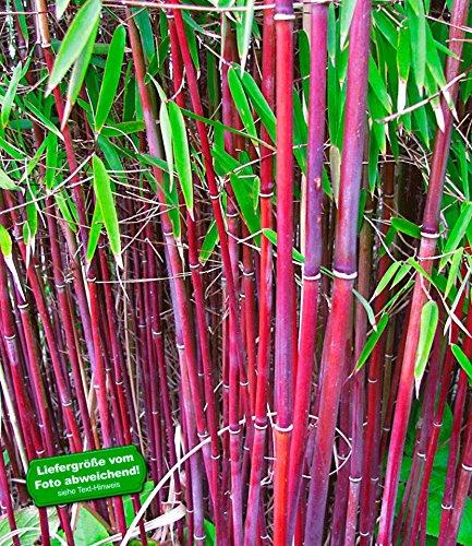 BALDUR-Garten Roter Bambus 'Chinese Wonder' winterhart, 1 Pflanze Fargesia jiuzhaigou No.1 bildet keine Wurzelausläufer, schnell wachsend (Bambus Schwarzer)