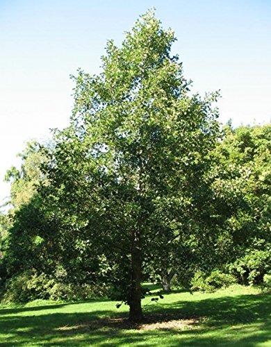 Baum des Jahres 2003 - Schwarzerle im Container Größe 125 bis 150 cm