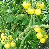 10 Samen Bianca Tomate – cremeweiße Früchte, Buschtomate