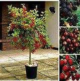 Dominik Blumen und Pflanzen, 4er Beerenobst-Set: Johannisbeerstämmchen
