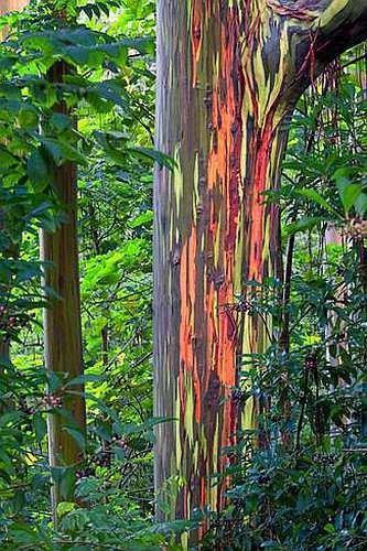 Eucalyptus deglupta - Eucalyptus arc-en-ciel - 20 graines