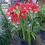 tables de bureau en pot Asperges de Graines Graines Bonsai Arbre Très Belle Intérieur Arbre jardin 30pcs plantes T021