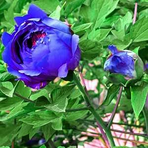 20 Blu Peony semi di fiore in vaso Peonia Casa Giardino Pianta