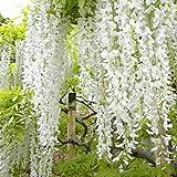 Wisteria Floribunda 'Shiro-Noda' - Glycine Japonaise 'Shiro-noda' 50-60 cm en conteneur