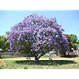 100 PCS de semillas de paulownia mayor, semillas kiri púrpura, 5 diferentes plantas con flores de color