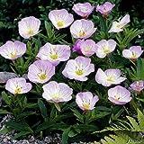 Rosa Nachtkerze (Oenothera Rosea) - 3 Stück von Garten-Schlüter
