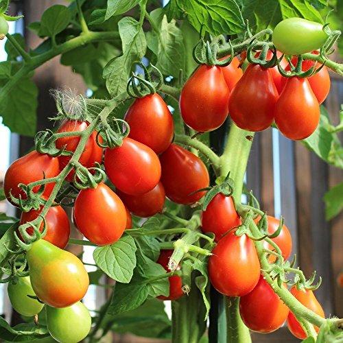 10 Samen Rotes Birnchen Tomate – außergewöhnliche Fruchtform, guter Ertrag