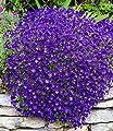 BALDUR-Garten Winterharter Bodendecker Blaukissen 'Cascade Blue', 3 Pflanzen Aubrieta von Baldur-Garten bei Du und dein Garten