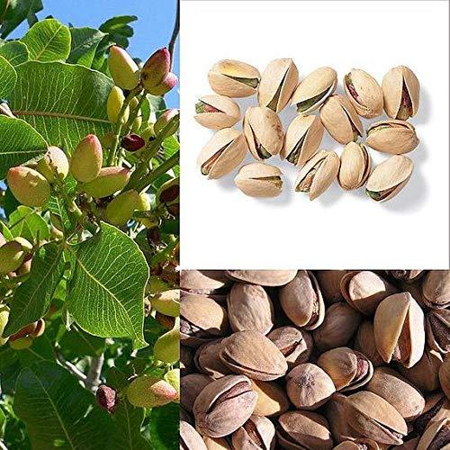 Qulista Samenhaus - 5pcs BIO Pistacia vera Echte Pistazie, Pistachio Nut Obst Saatgut mehrjährig winterhart für Terrasse und Balkon