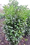 immergrüner Kirschlorbeer Prunus laurocerasus Genolia -R- 150-175 cm hoch im 20 Liter Pflanzcontainer