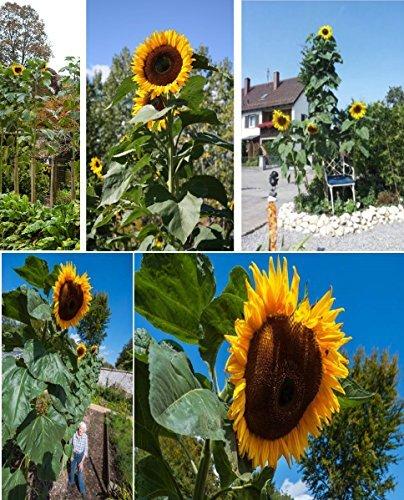 Garten Sonnenblumen (15x Riesen Sonnenblumen 5,2 Meter Giant King Kong sunflowers Garten Blumen Neuheit Saatgut Blumensamen Garten Blumen Pflanze #424)