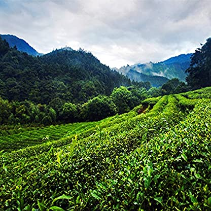 Frderung-Milch-Oolong-Tee-250g-055LB-Qualitts-Tiguanyin-Taiwan-Jin-Xuan-Milch-Oolong-Gesundheits-Milch-Tee-der-Tee-Grnes-Lebensmittel-abnimmt