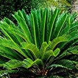 Portal Cool B048 Cycas Revoluta Palmfarn Leicht wachsende Pflanzen der Bonsai-Garten-Dekoration