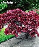 Shoopy Star 40 Stück Roter Ahornsamen-Außenpflanzenhof Bonsai, der Reinigungsluft pflanzt