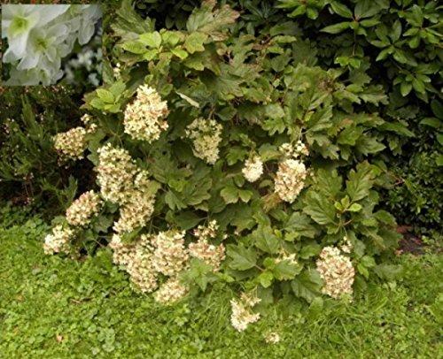 Eichenblatthortensie Snowflake - Eichenblättrige Hortensie - Hydrangea quercifolia Snowflake
