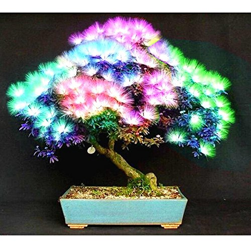 20 Stück Bonsai Albizia Blumensamen Genannt Mimosa Silk Baum-Samen Seltene Garten Topfpflanzen Regenbogen-Blumen-Topf
