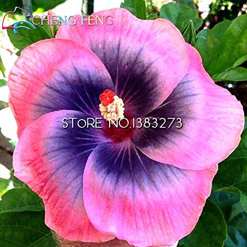 Hibiscus achat vente de hibiscus pas cher for Engrais hibiscus exterieur