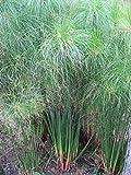 Asklepios-seeds® - 50 Samen Cyperus papyrus, Echter Papyrus, Papyrusstaude