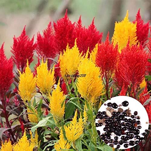 Portal Cool 50Pcs Annual Garden Balcony Decorative Cockscomb Celosia Flower Seeds Lkr850 Unids Anual Jardín Balcón Cockscomb Decorativo Celosia Semillas de Flores Lkr8