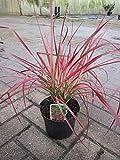 Baumschule Pflanzenvielfalt Pennisetum setaceum Fireworks - Rotes Lampenputzergras Fireworks - Borstiges Lampenputzergras -
