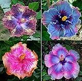 20 Samen Hibiscus seltene Farben Mix