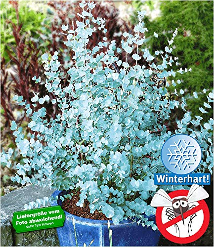 BALDUR-Garten Winterharter Eukalyptus \'Azura\' Blaugummibaum, 1 Pflanze Eucalyptus gunni echter Eukalyptus