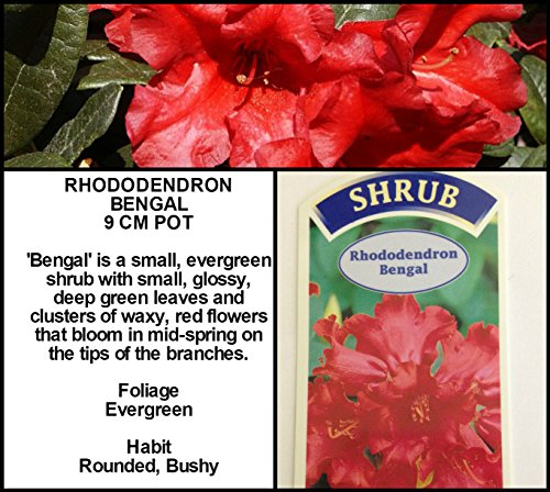 9cm-pot-dwarf-rhododendron-bengal-dark-red-flowers-garden-shrub-plant