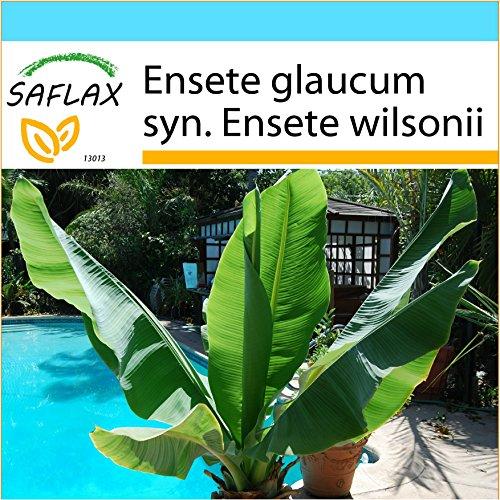 SAFLAX - Geschenk Set - Große Schneebanane - 10 Samen - Ensete glaucum syn. Ensete wilsonii