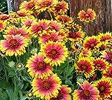 QHYDZ Garden-50pcs Rudbeckia Graines Fleurs Graines Attirent Les Oiseaux Oiseaux Abeilles, Super Plante Ornementale Résistante Au Froid Jardin En Pot
