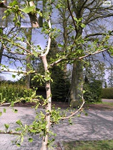 Ginkgo biloba Lakeview - Faecherblattbaum-Elefantenohrbaum