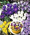 BALDUR-Garten Großblumiger Krokus-Mix, 40 Zwiebeln, Crocus vernus von Baldur-Garten auf Du und dein Garten