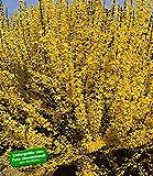 BALDUR-Garten Forsythie,1 Pflanze Goldglöckchen Goldflieder (Forsythia)