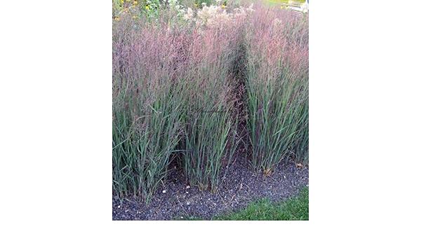 Panicum virgatum /'Heavy Metal /' Garden-Rod-Millet/' Heavy Metal /' 17cm Pot
