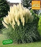 """BALDUR-Garten Pampasgras """"Evita"""";1 Pflanze"""