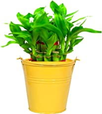Trust Basket Metal Lucky Bamboo Planter (Yellow)