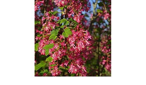 40-60 cm im 3 Liter Topf Zierjohannisbeere King Edward VII Ribes sanguineum ca