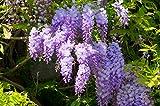 Wunderschöne Kletterplanze - Chinesischer Blauregen - Wisteria sinensis- verschiedene Größen (160cm Topf 3 Ltr.)