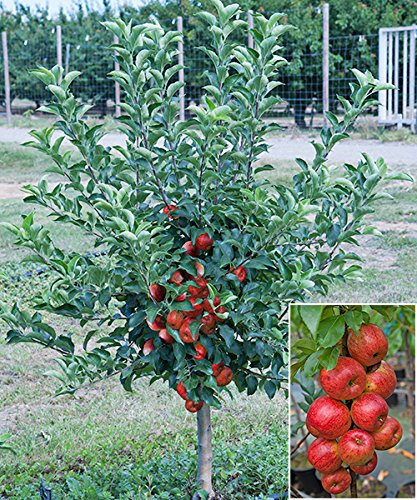 starkl-zwerg-apfel-garden-sun-red-busch-1-stk-malus-garden-sun-red-busch
