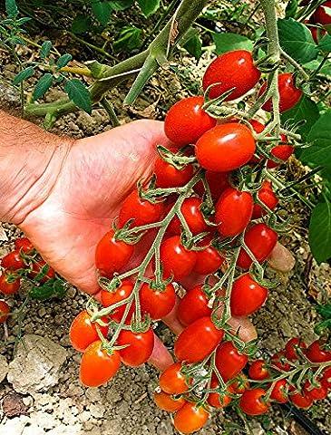 Viridis Hortus - Tomato Modus F1 20 Vegetable Seeds (Cherry Plum)