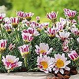 MEIGUISHA Gartensamen-100pcs Kamille samen Duftende Winterharter Bodendecker Afrikanisches Ringkörbchen Pflanzen für Garten Balkon (Rosa)