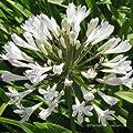 Schmucklilie, Agapanthus africanus 'Albus' von VDG-Stauden bei Du und dein Garten