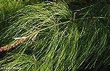 Elegia capensis - restio - 10 graines