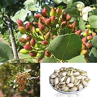 Homeofying 5pcs Rare Pistachio Vera Nut Tree Seed Bonsai Home Garden Outdoor Planting Decor