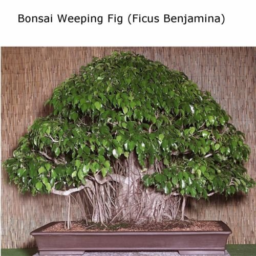 Aster gardens Miniature Ficus Seeds Weeping Fig - Ficus benjamina Home Bonsai Suitable Plant 50 seeds