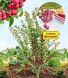 BALDUR-Garten Mini-Apfel