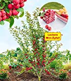 BALDUR-Garten Mini-Apfel'Appletini', 1 Pflanze Apfelbaum Miniapfel Rarität