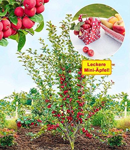"BALDUR-Garten Mini-Apfel""Appletini®"", 1 Pflanze Apfelbaum Miniapfel Rarität"